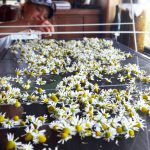 Tasmanian organic chamomile