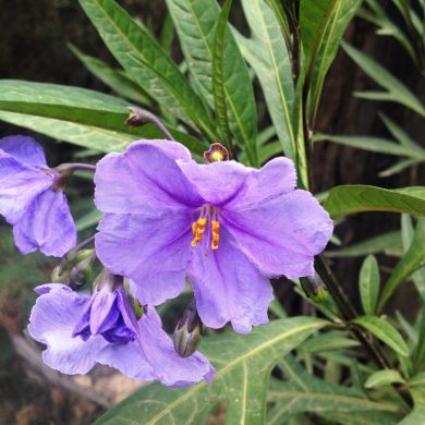 Solanum laciniatum (Solanaceae): The Dangerous Angel