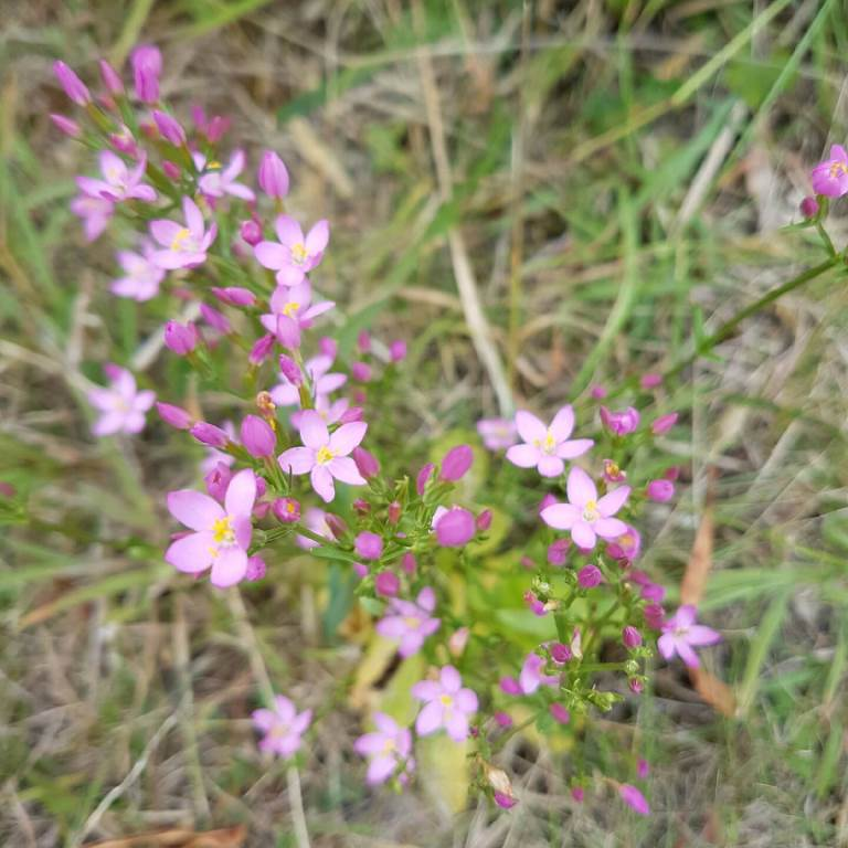 Centaurium erythrea (Gentianaceae): Untouched by wallabies