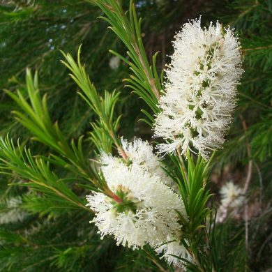Melaleuca alternifolia (Myrtaceae): The Wonder from Down Under