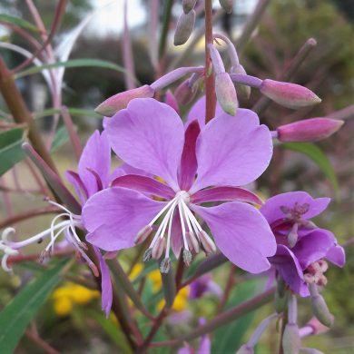 Epilobium angustifolium (Fireweed): Yukon's famous remedy