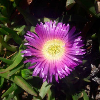 Carpobrotus rossii (Native pigface): A versatile succulent
