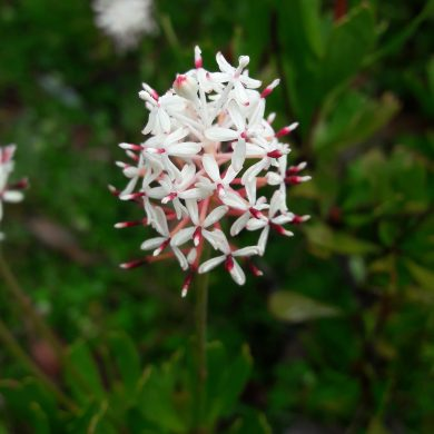 Mountain rocket (Bellendena montana): The most Ancient Tasmanian